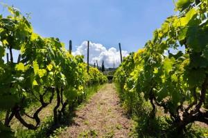 Castelli Romani vineyards